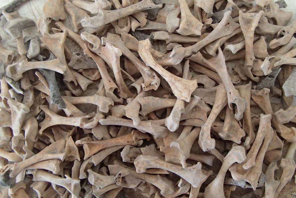 Lot d'ossements d'oiseaux issu des fouilles archéologiques menées à Tromelin. © Véronique Laroulandie, CNRS