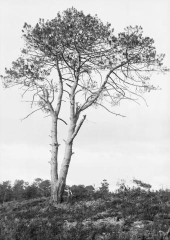 Grands pins de Guentes, 8 octobre 1890